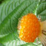 屋久島の自然を味わう。野いちご&旬を迎えるパッションフルーツ